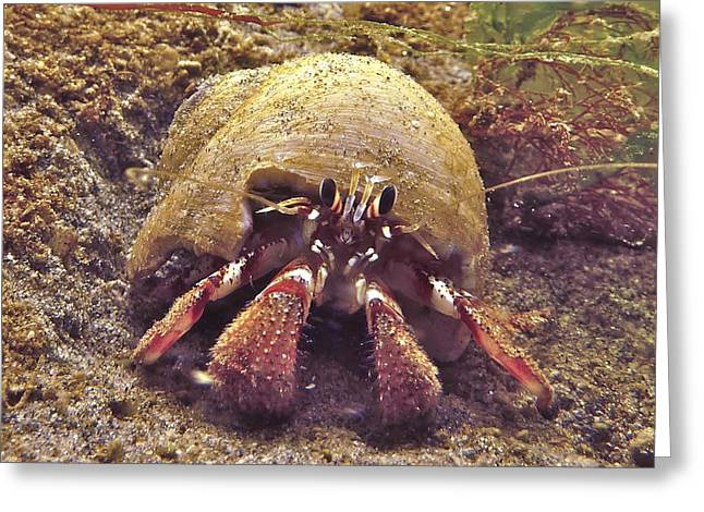 Hermit Crab In Moon Snail Shell Greeting Card by James Murray