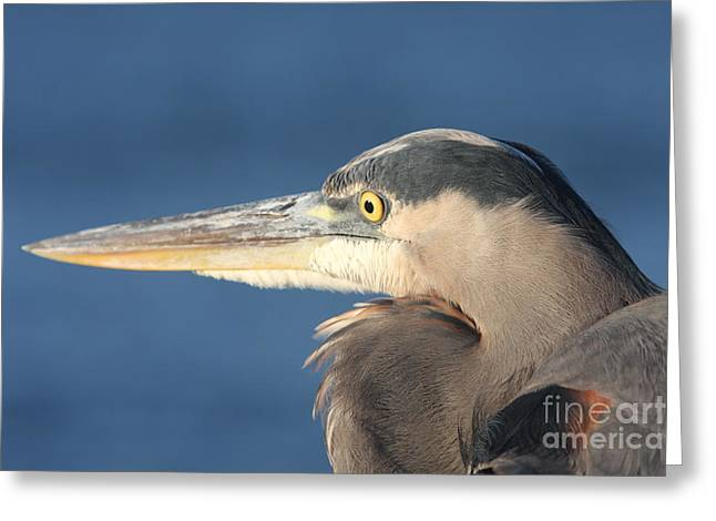 Heron Close-up Greeting Card by Christiane Schulze Art And Photography
