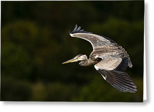 Heron Coming In To Land Greeting Card