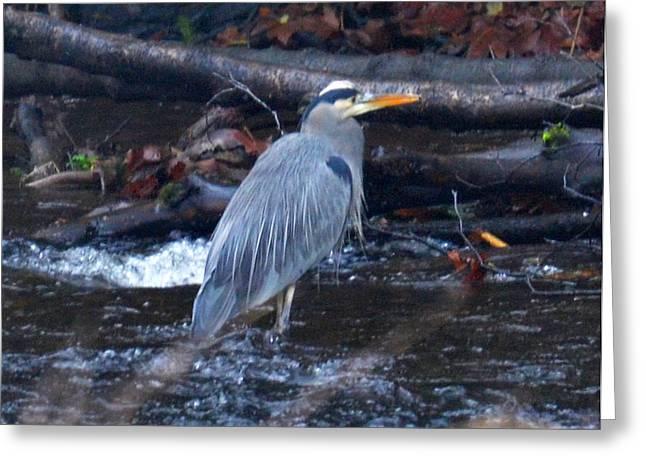 Heron Fishing Greeting Card