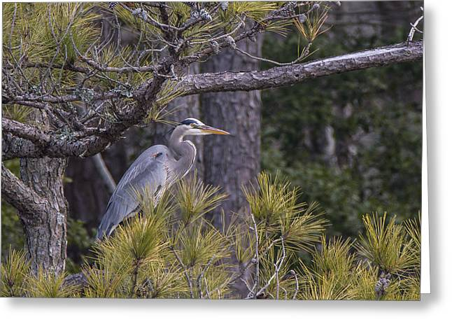 Heron In The Pines Greeting Card by Andy Smetzer