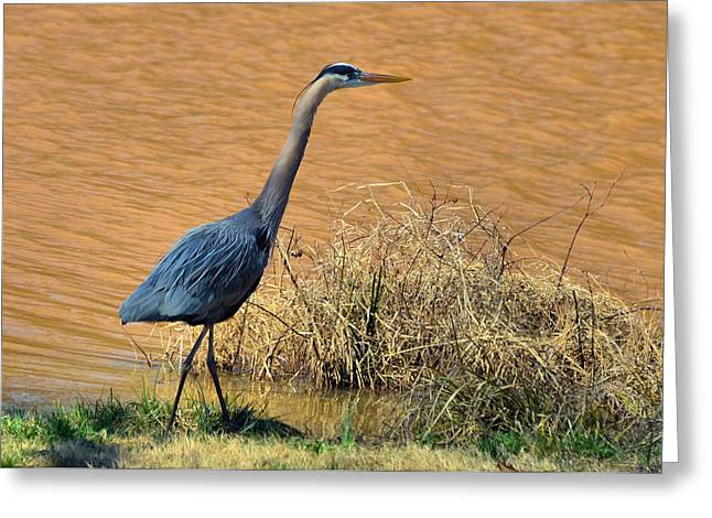 Heron In The Rough - 51010656e Greeting Card