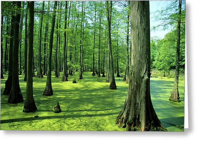 Heron Pond Bald Cypress Trees In Little Greeting Card