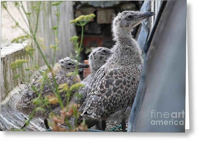 Herring Gull Chicks Greeting Card