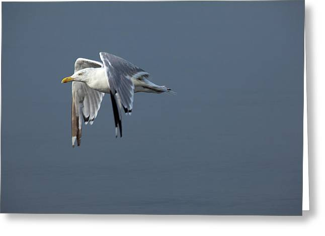Herring Gull In Flight Greeting Card by Karol Livote