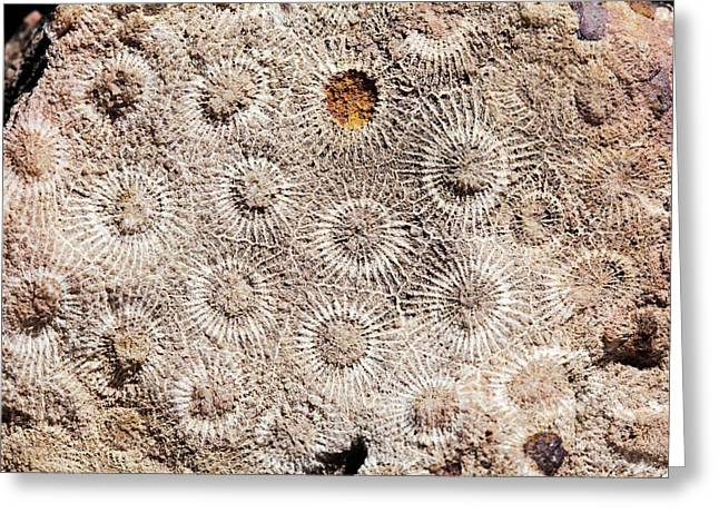 Hexagonaria Fossil Coral Greeting Card by Dirk Wiersma
