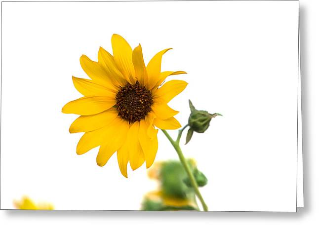 Hi Key Sunflower Greeting Card by Peter Tellone