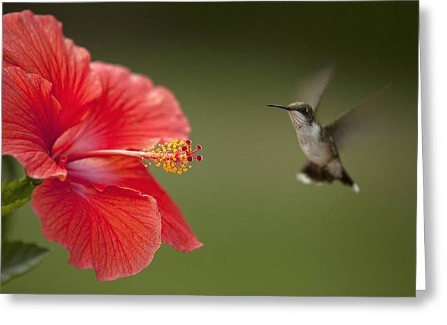 Hibiscus Hummingbird Greeting Card