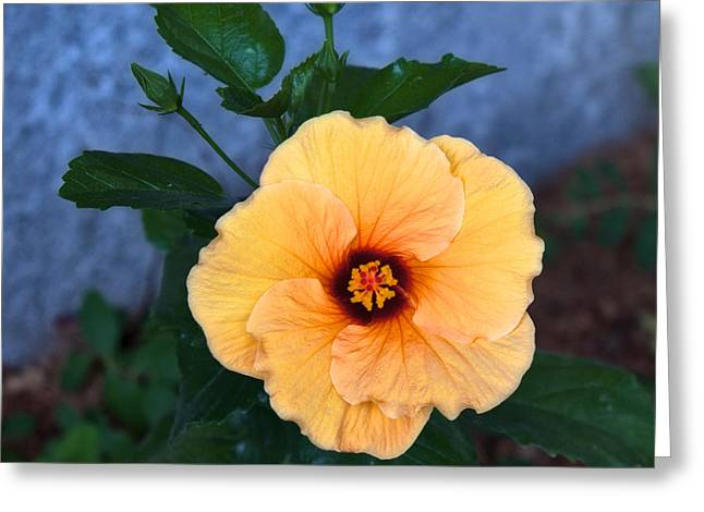 Hibiscus In Fading Light Greeting Card