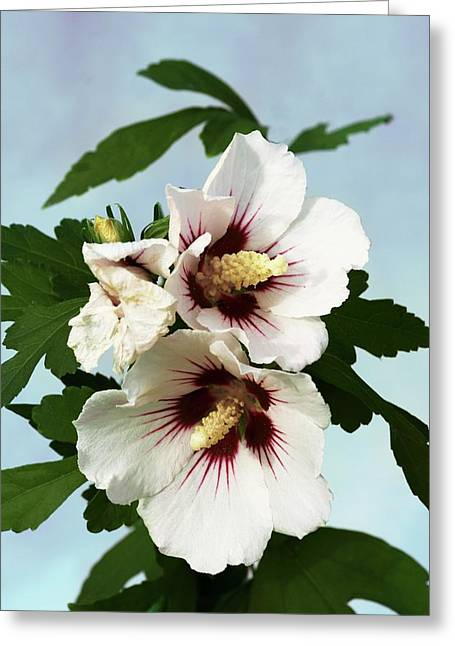 Hibiscus Syriacus Red Heart Photograph By Brian Gadsbyscience