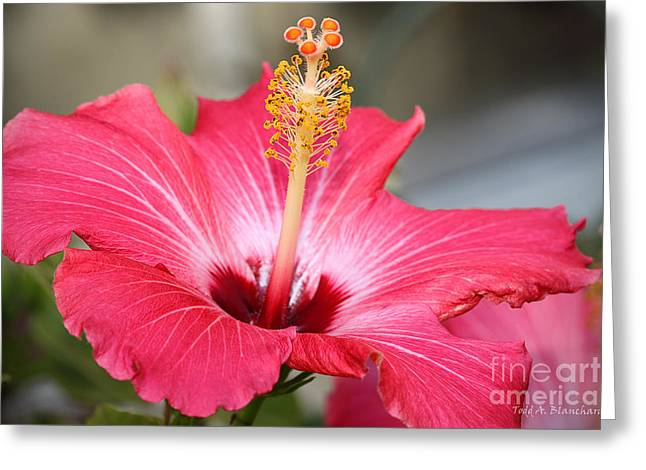 Greeting Card featuring the photograph Hibiscus by Todd Blanchard