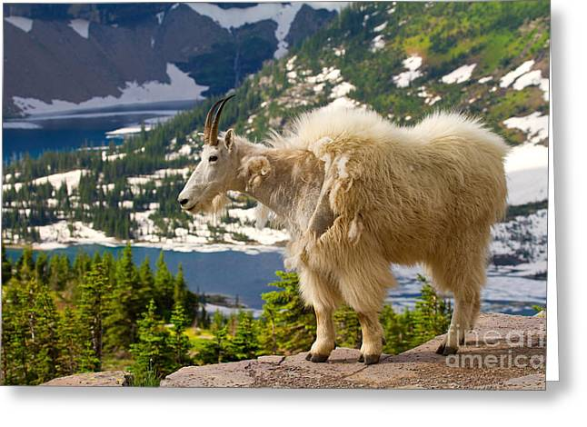 Greeting Card featuring the photograph Hidden Lake Goat by Aaron Whittemore