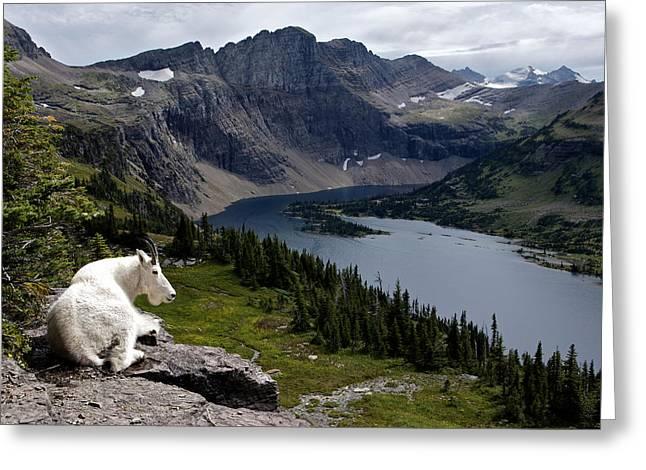 Hidden Lake Mountain Goat Greeting Card by Robert Yone