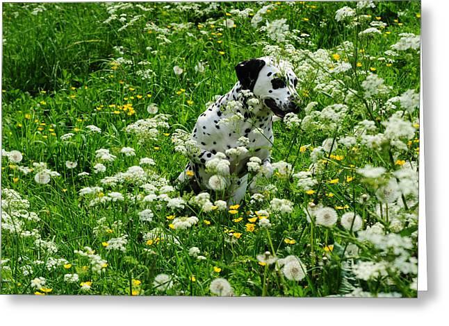 Hiding Among Dandelions. Kokkie. Dalmation Dog Greeting Card