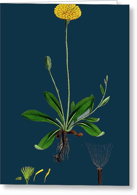Hieracium Pilosella Mouse-ear Hawkweed Greeting Card