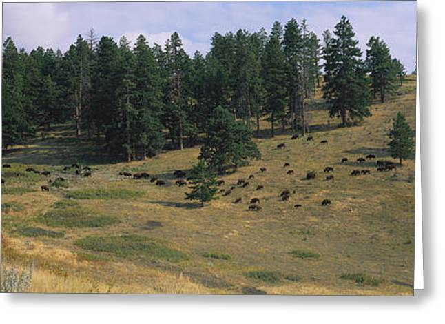 High Angle View Of Bisons Grazing Greeting Card by Panoramic Images