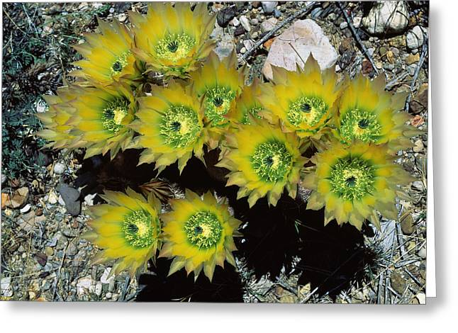 High Angle View Of Cactus Flowers, Big Greeting Card by Panoramic Images