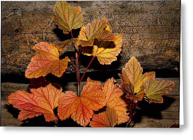 High Bush Cranberry Leaves Greeting Card