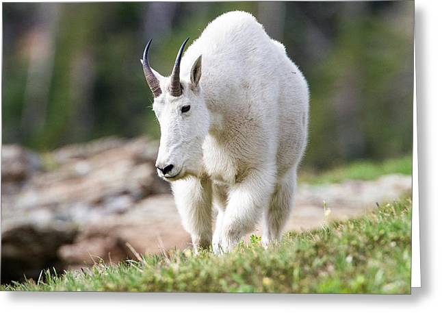 Greeting Card featuring the photograph High Country Mountain Goat by Jack Bell