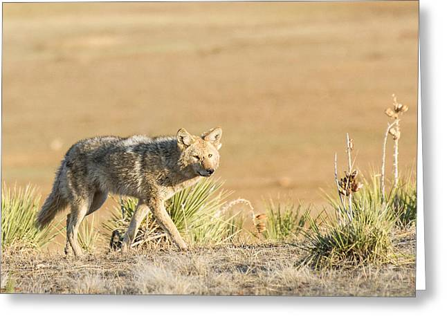 High Plains Coyote At Sunset Greeting Card by Adam Pender