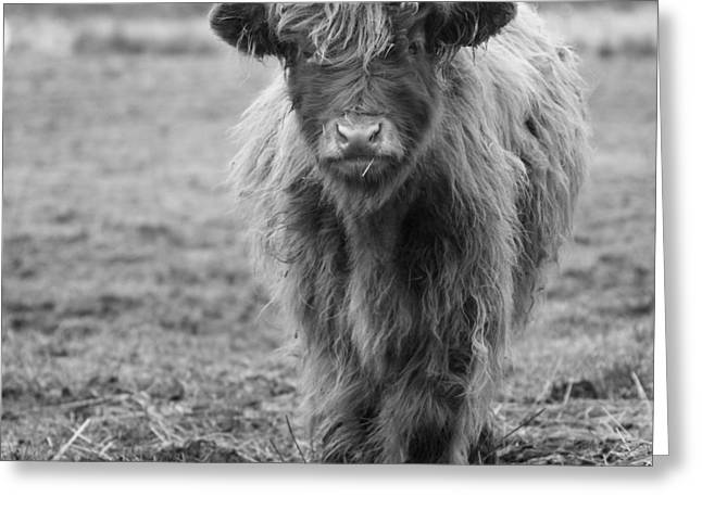 Highland Calf Greeting Card by Sonya Lang