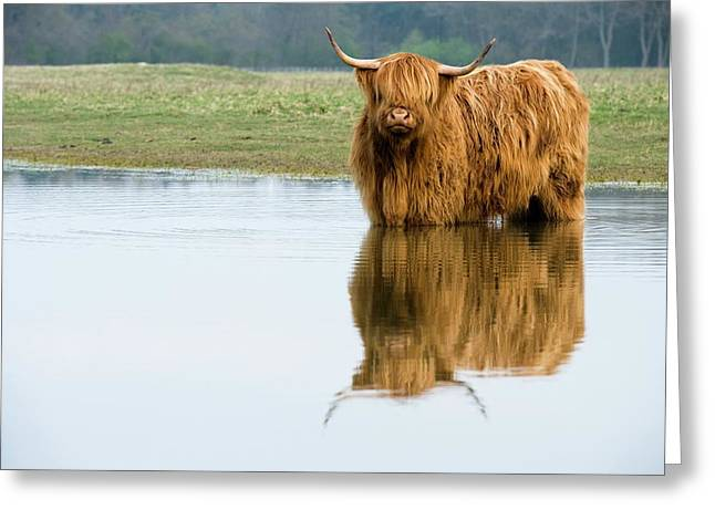 Highland Cattle Greeting Card by Duncan Shaw