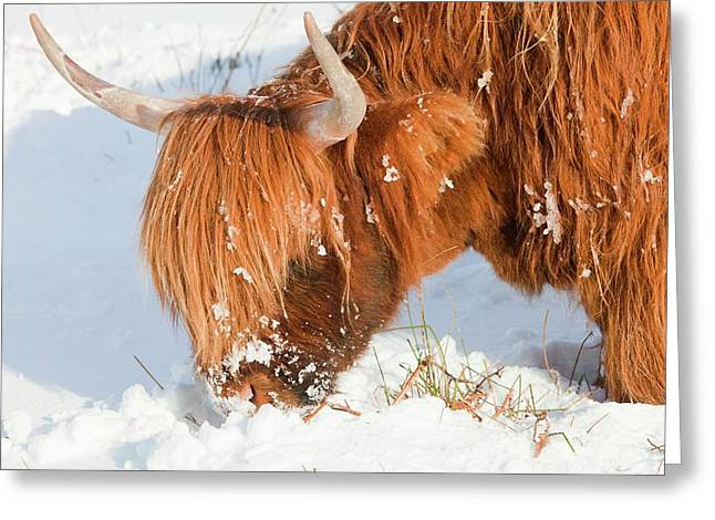Highland Cattle Grazing Greeting Card by Ashley Cooper