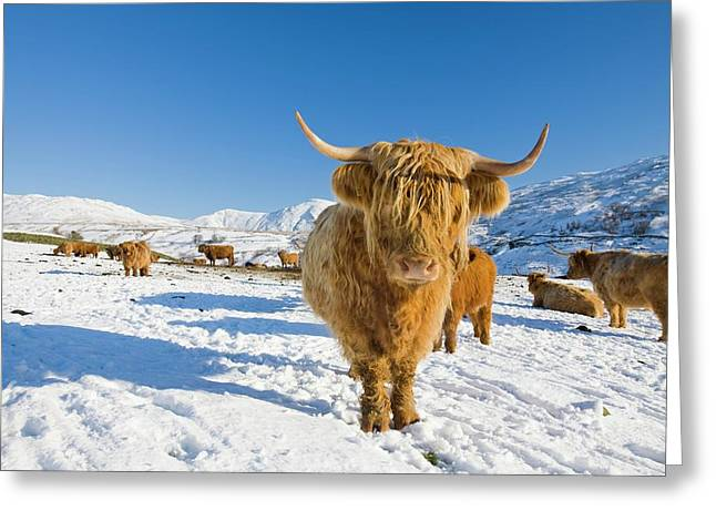 Highland Cattle On Kirkstone Pass Greeting Card
