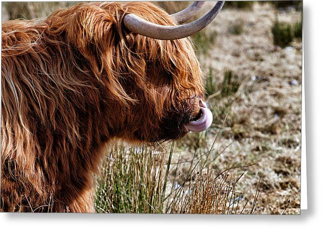 Highland Coo With Tongue In Nose Greeting Card
