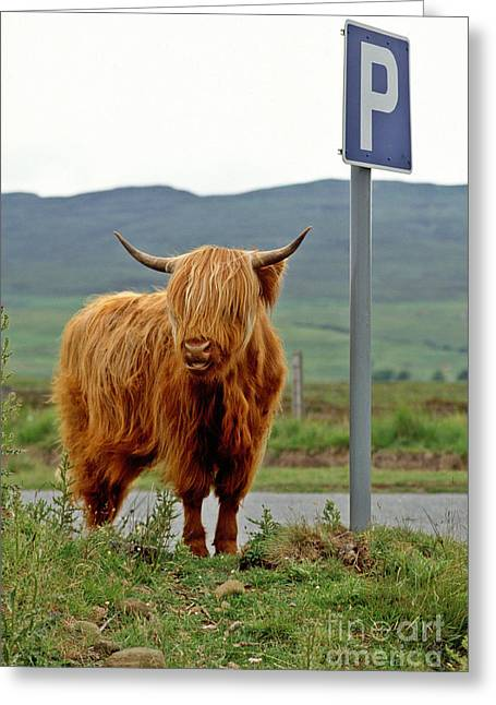 Highland Cow Greeting Card by David Davies