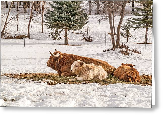 Highland Cow With Calves Greeting Card