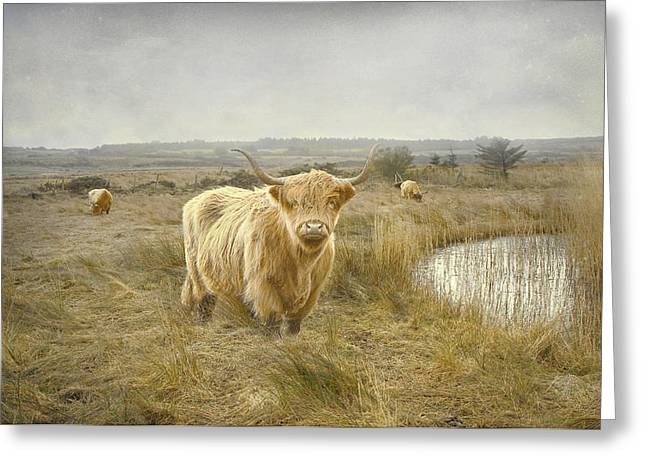 Highland Moo's Greeting Card by Roy  McPeak