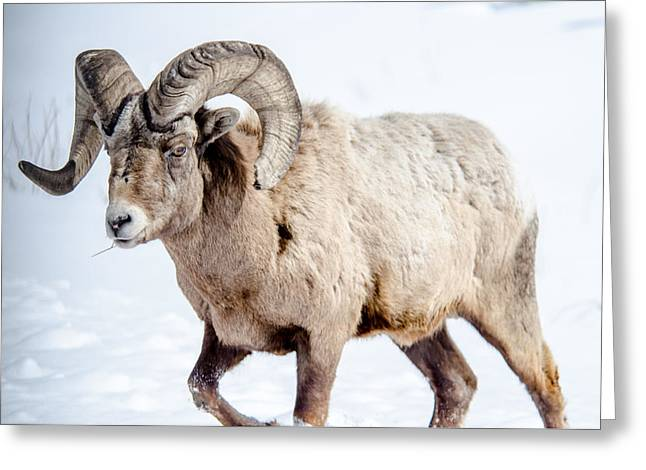 Big Horns On This Big Horn Sheep Greeting Card