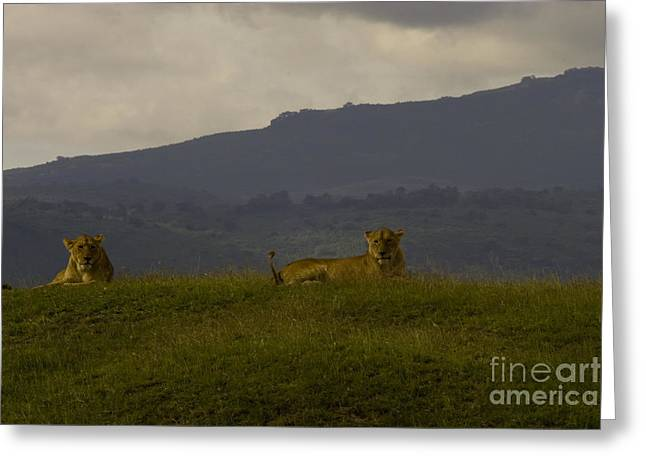 Greeting Card featuring the photograph Hillside Lions by J L Woody Wooden