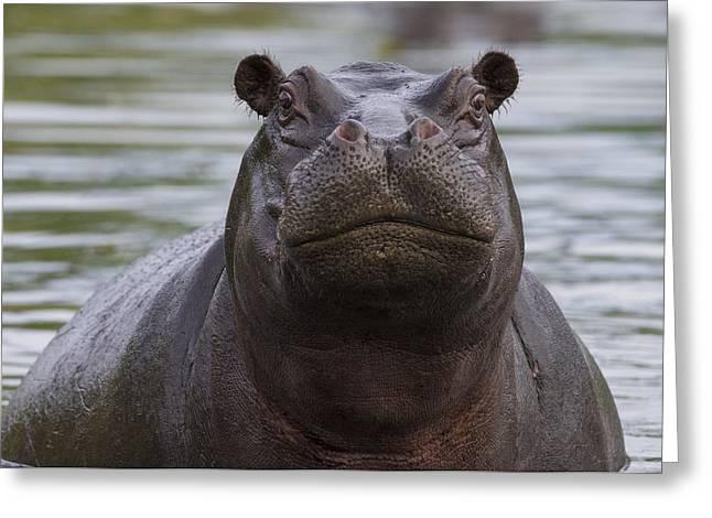 Hippopotamus Bull Khwai River Botswana Greeting Card by Vincent Grafhorst