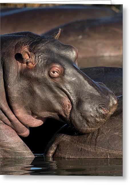 Hippopotamus Portrait Greeting Card