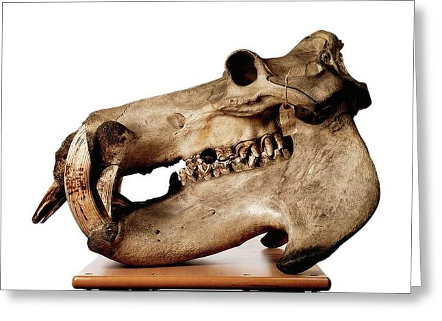 Hippopotamus Skull Greeting Card by Ucl, Grant Museum Of Zoology