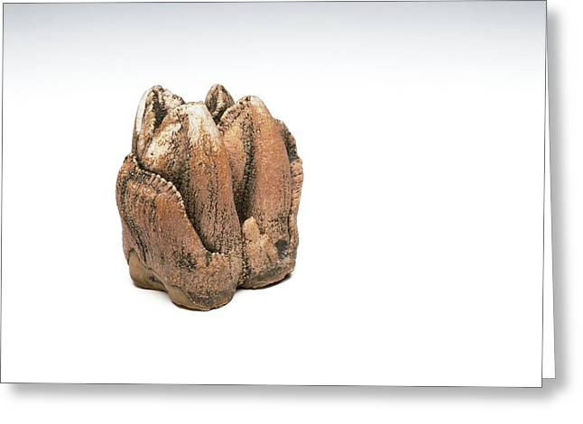 Hippopotamus Tooth Greeting Card by Ucl, Grant Museum Of Zoology