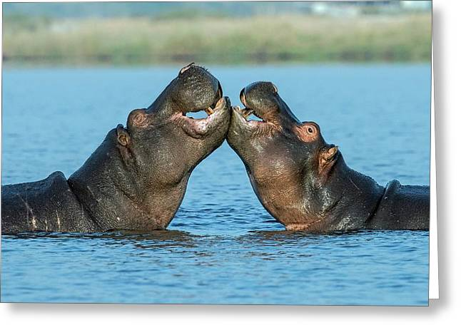 Hippopotamuses Being Affectionate Greeting Card by Tony Camacho/science Photo Library