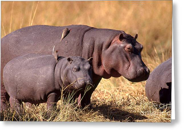 Hippopotamuses With Oxpeckers Greeting Card by Gregory G. Dimijian, M.D.