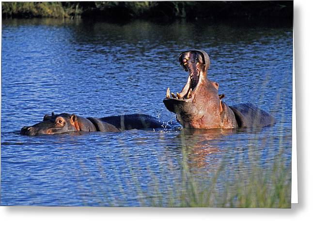 Greeting Card featuring the photograph Hippos by Dennis Cox WorldViews