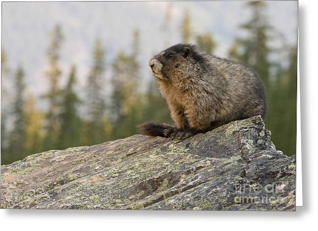 Greeting Card featuring the photograph Hoary Marmot by Chris Scroggins