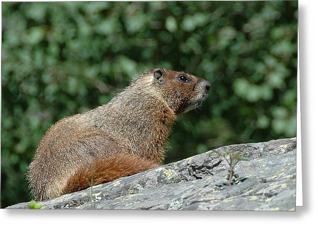 Greeting Card featuring the photograph Hoary Marmot by Paul Miller