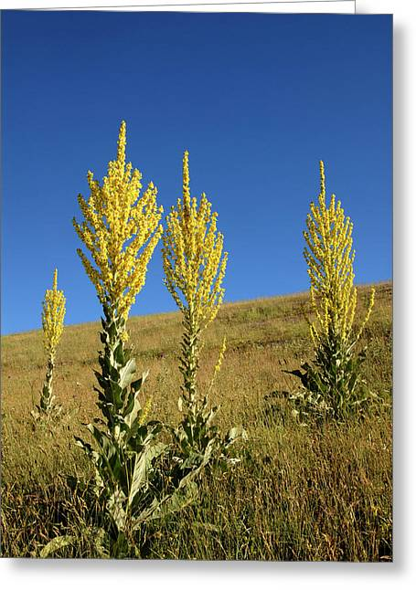 Hoary Mullein (verbascum Pulverulentum) Greeting Card by Nigel Downer