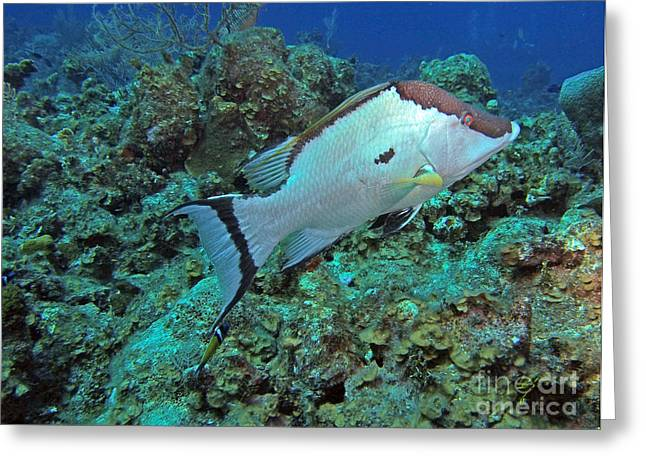 Hogfish On Reef Greeting Card by Carey Chen