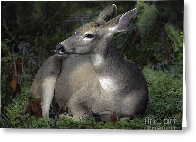 Hoh River Doe Greeting Card by Tim Moore