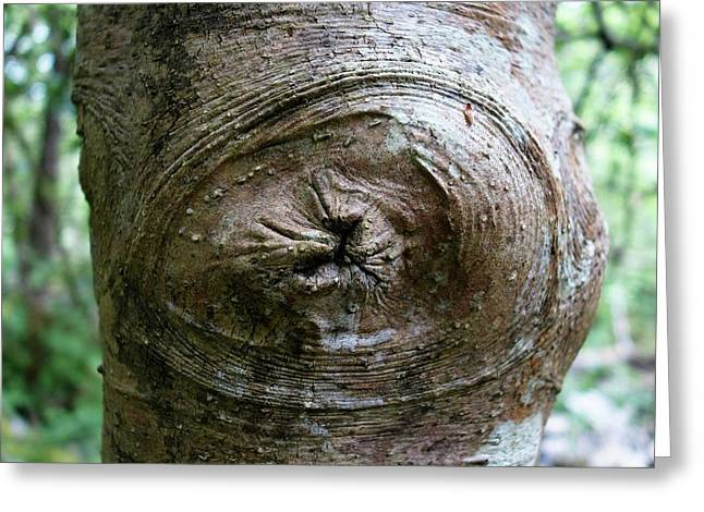 Holly Tree Branch Scar Greeting Card