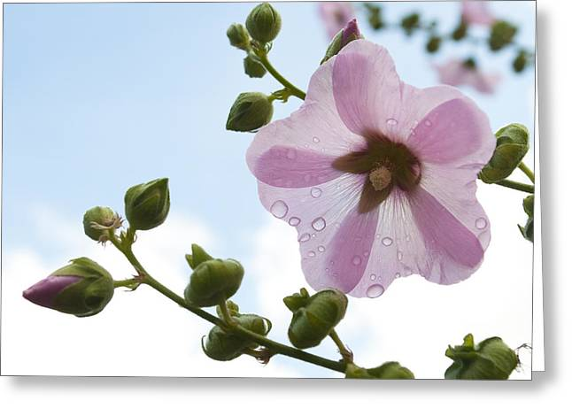 Greeting Card featuring the photograph Hollyhock With Raindrops by Lana Enderle