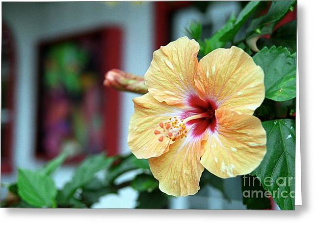 Holualoa Hibiscus Greeting Card