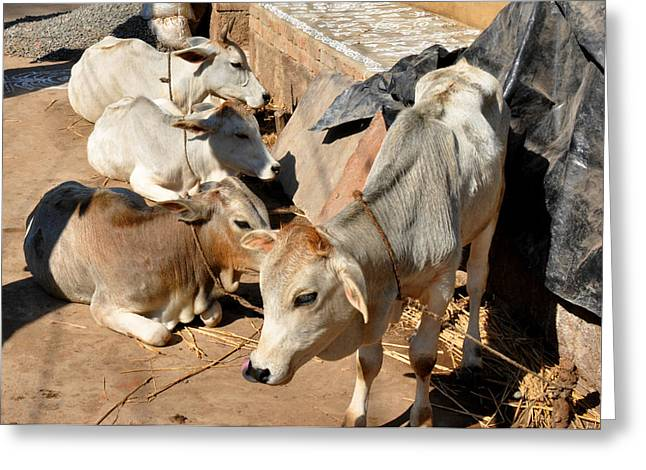 Holy Cows Odisha India Greeting Card